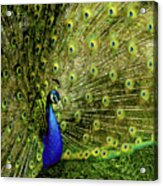 Peacock At Frankenmuth Michigan Acrylic Print