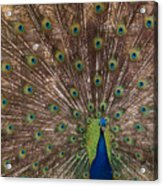 Peacock At The Fort Acrylic Print