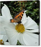 Peacock Butterfly On Cosmos Acrylic Print