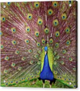 Peacock Acrylic Print by Carlos Caetano