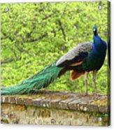 Peacock, Chateau De Saint-germain-de-livet Acrylic Print