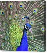 Peacock Colors Acrylic Print