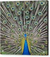 Peacock Display Acrylic Print
