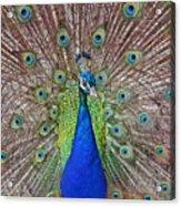 Peacock Displaying His Plumage Acrylic Print