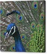 Peacock Enhanced Acrylic Print