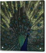 Peacock Eyes Acrylic Print