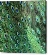 Peacock Feather Pattern Acrylic Print