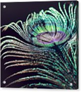 Peacock Feather With Dark Background Acrylic Print
