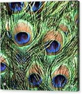 Peacock Feathers Acrylic Print by John Foxx