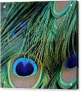 Peacock Feathers Acrylic Print