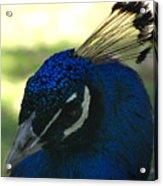 Peacock Head Acrylic Print