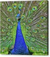 Peacock In A Oak Glen Autumn 3 Acrylic Print