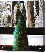 Peacock In The Snow Acrylic Print