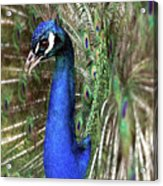 Peacock Mating Season Acrylic Print