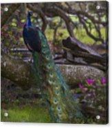 Peacock On The Plantation Acrylic Print