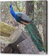 Peacock On Woodpile Acrylic Print