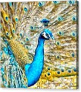 Peacock Paradise Acrylic Print