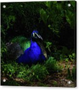 Peacock Peafowl Acrylic Print