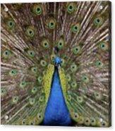 Peacock Plumage Acrylic Print