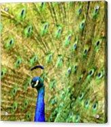 Peacock Prancing Acrylic Print