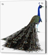 Peacock Profile Acrylic Print