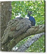 Peacock Roosting Acrylic Print