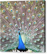 Peacock Show Acrylic Print