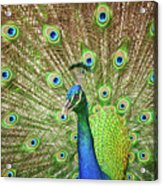 Peacock Showing Off Acrylic Print