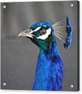 Peacock Stare Down Acrylic Print