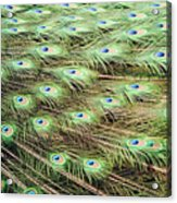 Peacock Tail Feathers  Acrylic Print
