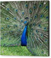 Peacocks Glory Acrylic Print