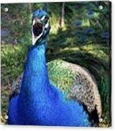 Peacocks Squawk Acrylic Print