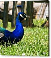 Peafowl Eye To Eye Acrylic Print