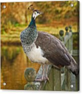 Peahen In Autumn Acrylic Print