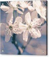 Pear Blossoms 4 Acrylic Print