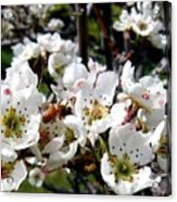 Pear Blossoms And Bee Acrylic Print
