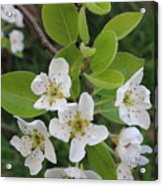 Pear Blossoms In Full Bloom Acrylic Print