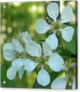 Pear Blossoms Acrylic Print