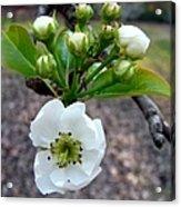 Pear Tree Blossom 3 Acrylic Print