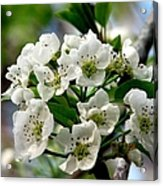 Pear Tree Blossoms 1 Acrylic Print