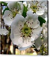 Pear Tree Blossoms 3 Acrylic Print