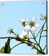 Pear Tree Blossoms 4 Acrylic Print