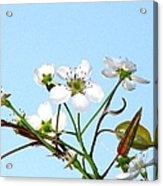 Pear Tree Blossoms 6 Acrylic Print