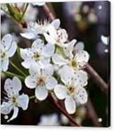 Pear Tree Blossoms II Acrylic Print