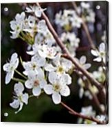 Pear Tree Blossoms IIi Acrylic Print