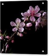 Peach Tree Blossum Acrylic Print