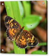 Pearl Crescent Butterfly Acrylic Print