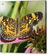 Pearl Crescent Butterfly On Coneflower Acrylic Print
