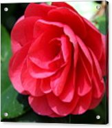 Pearl Of Beauty - Red Camellia Acrylic Print