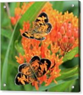Pearly Crescentspot Acrylic Print